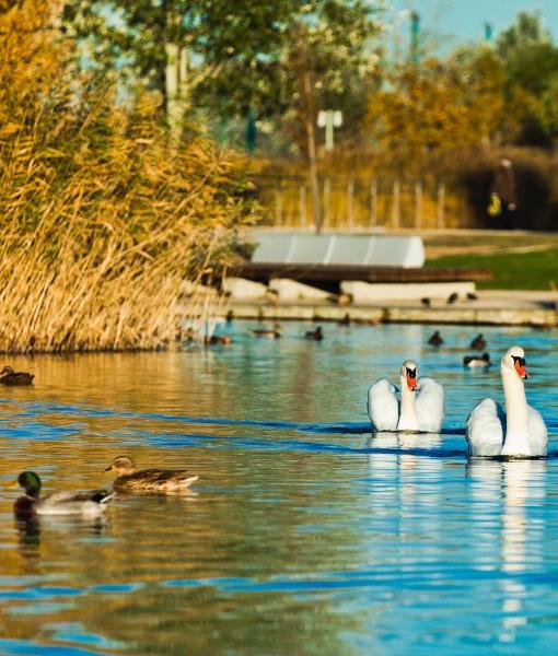 cisnes y patos