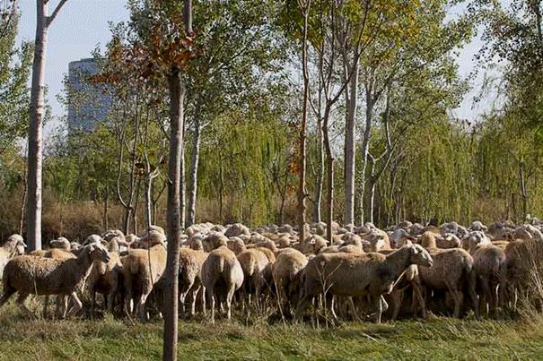ovejas parque del agua